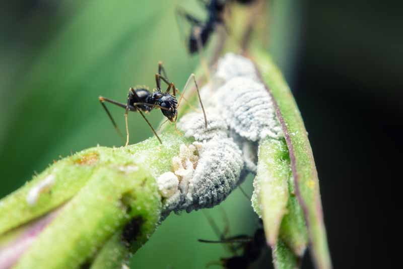 A close up horizontal image of ants protecting a cluster of mealybugs on the stem of a plant.
