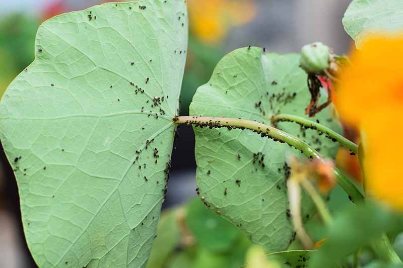 A close up horizontal image of aphids infesting a Tropaeolum plant pictured on a soft focus background.