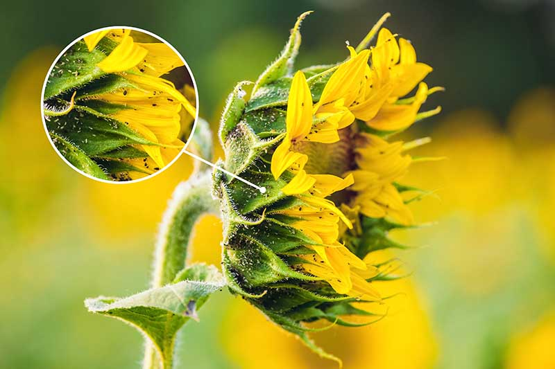A close up horizontal image of a sunflower suffering from an aphid infestation.