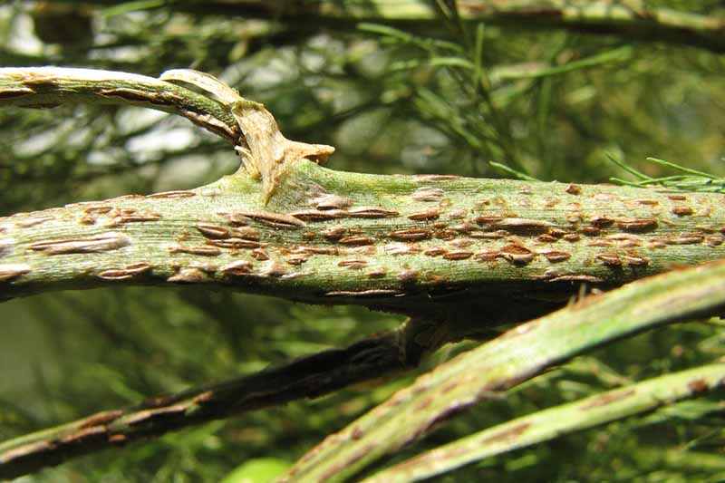 A close up horizontal image of the stem of a plant suffering from asparagus rust, a fungal infection, pictured on a soft focus background.
