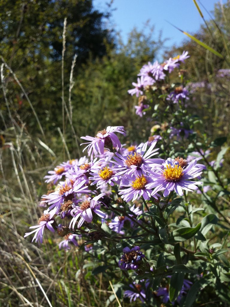 A close up vertical image of light purple Aster amellus flowers growing in a meadow with perennial shrubs and trees in the background.