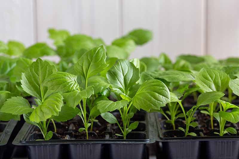 A close up horizontal image of seedlings growing in small seed starting trays indoors.