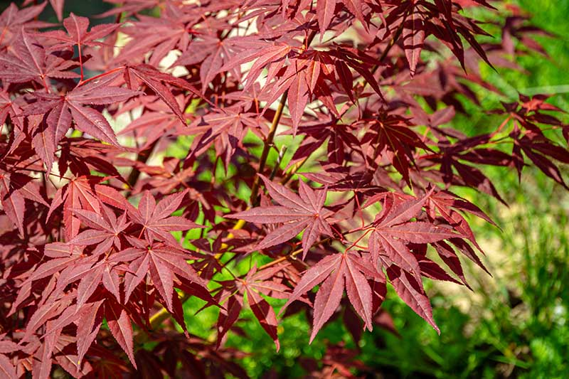 A close up horizontal image of Acer 'Atropurpureum' foliage pictured in bright sunshine on a soft focus background.