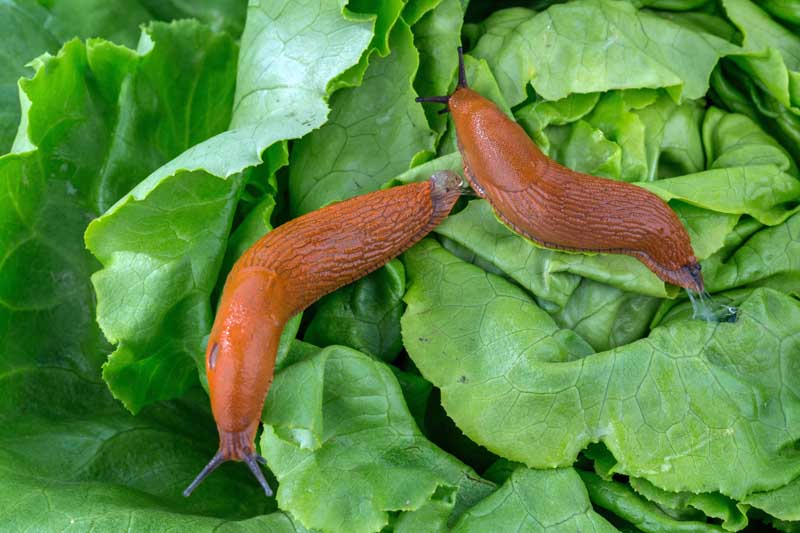 A horizontal image of two slugs attacking leaf lettuce in a veggie garden.