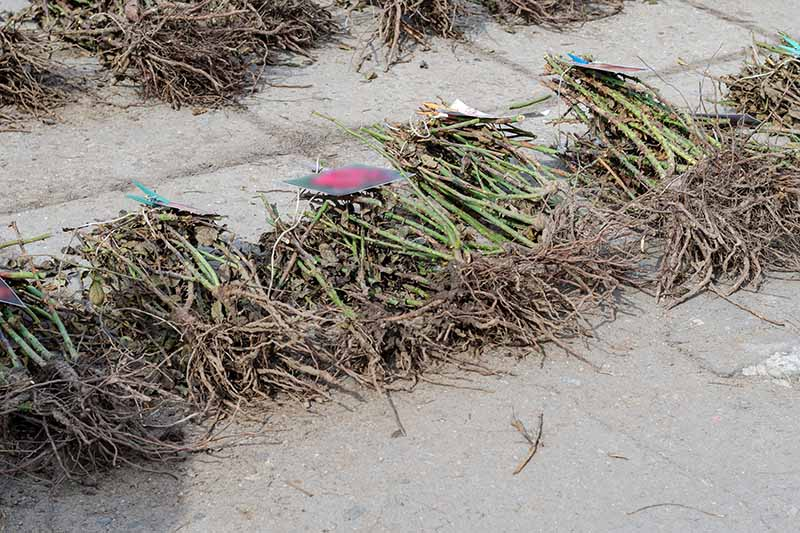 A horizontal image of dozens of bare root shrubs set on the ground at a market.