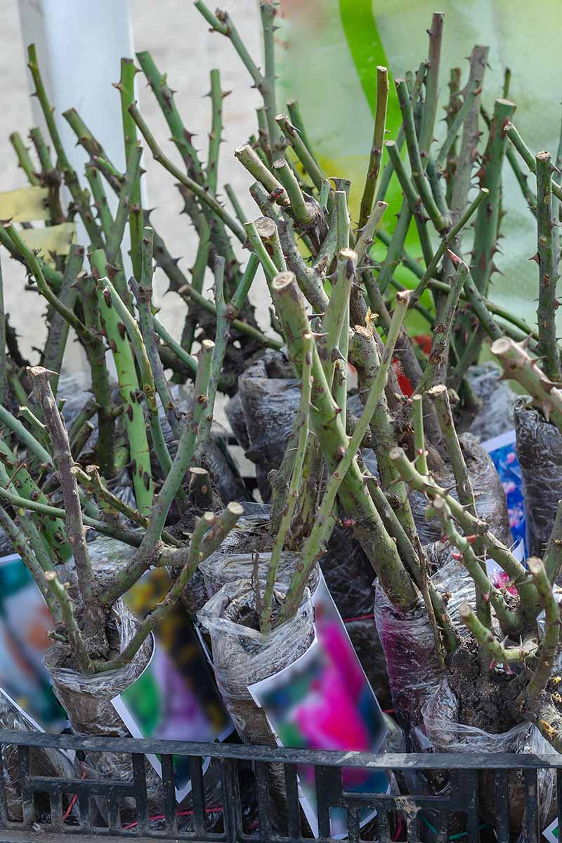 A close up vertical image of bare root roses for sale in a plant nursery.