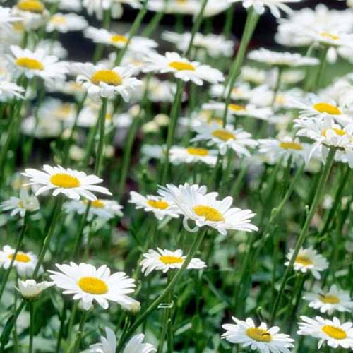 A close up square image of Leucanthemum x superbum 'Becky' growing in the garden fading to soft focus in the background.