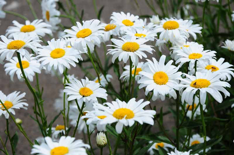 A close up horizontal image of the white flowers of Leucanthemum x superbum 'Becky' growing in the garden.