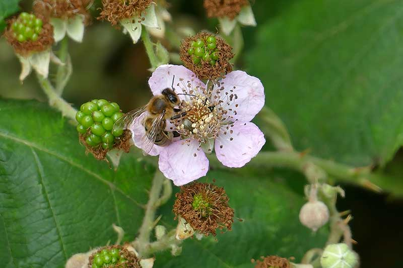 A close up horizontal image of a bee feeding from a pink blackberry flower with developing fruits in the background.