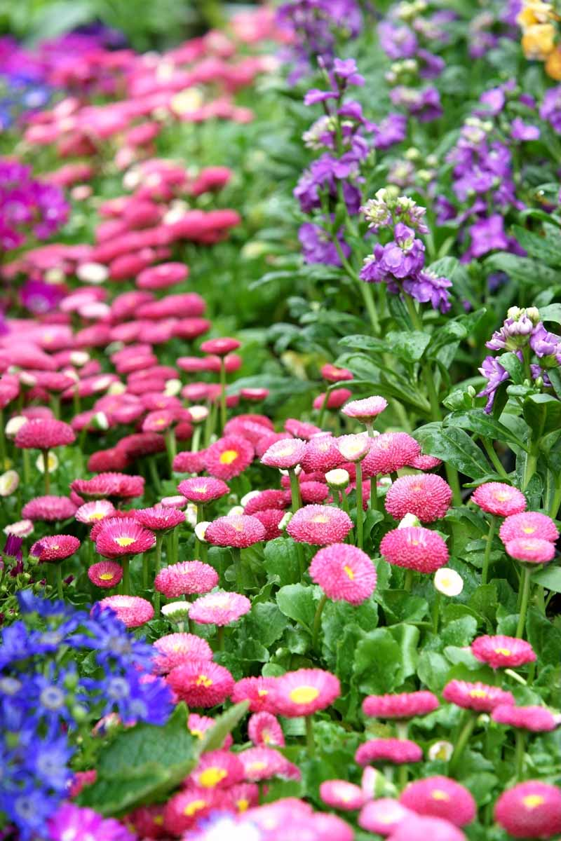 A close up vertical image of bright pink English daisies growing in a flower bed.
