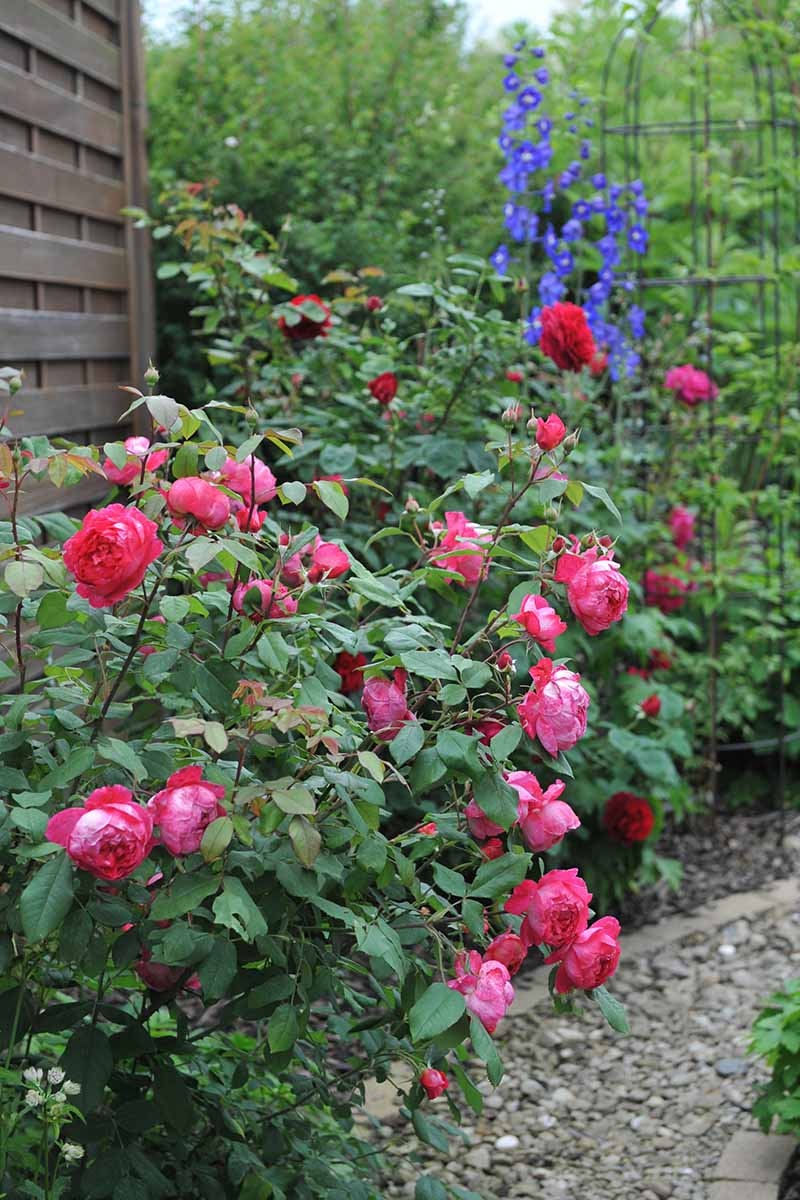 A vertical image of 'Benjamin Britten' roses growing alongside a gravel pathway next to a wooden fence.