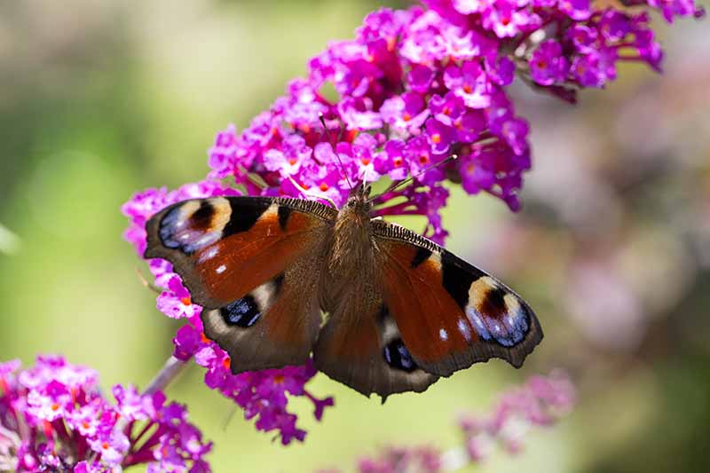 A close up horizontal image of a bright pink Buddleia flower with a butterfly feeding from it pictured on a soft focus background.