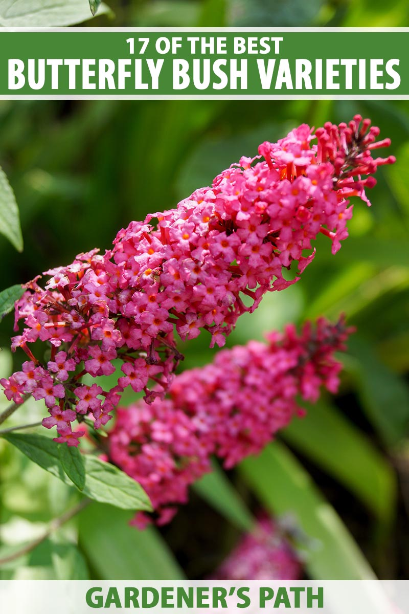 A close up vertical image of a bright red butterfly bush flower growing in the garden pictured in bright sunshine with foliage in soft focus in the background. To the top and bottom of the frame is green and white printed text.