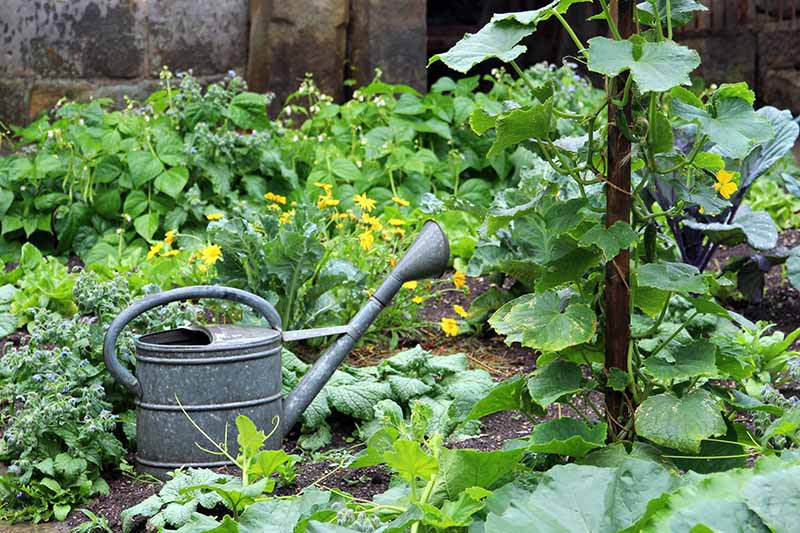 A close up horizontal image of an edible garden planted with a variety of vegetables and a metal watering can in the foreground.