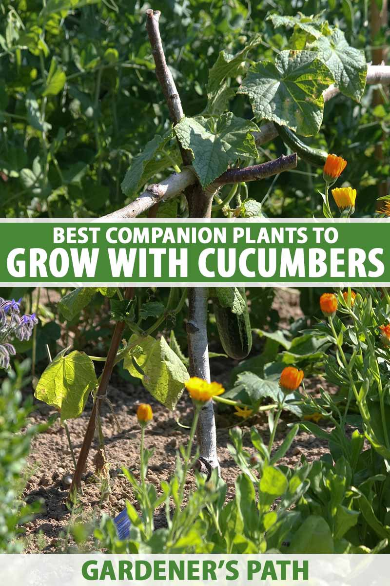 A close up vertical image of a garden planted with cucumbers and their companions pictured in bright sunshine. To the center and bottom of the frame is green and white printed text.