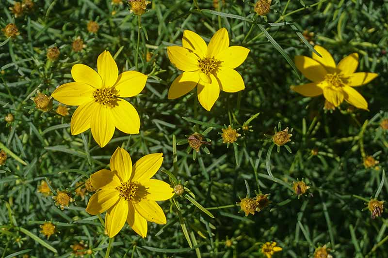 A close up horizontal image of bright yellow Coreopsis verticillata growing in the garden with foliage in soft focus in the background.