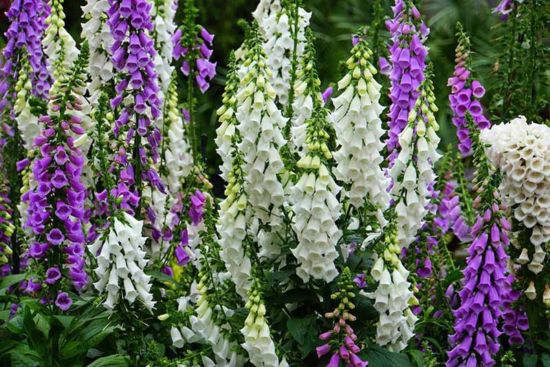 A close up horizontal image of purple and white foxglove flowers growing in the garden pictured on a soft focus background.