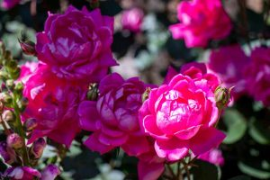 13 of the Best Hardy Roses to Grow at Home