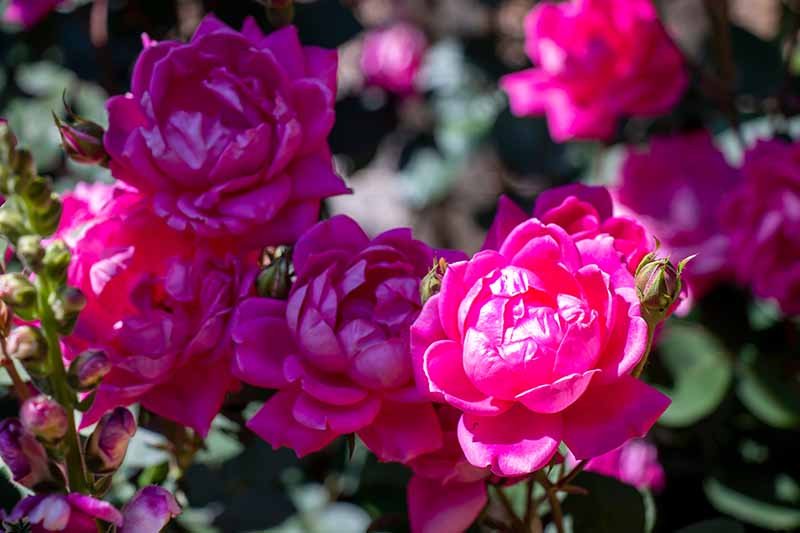 A close up horizontal image of double pink Knock Out roses growing in the garden pictured in bright sunshine on a soft focus background.