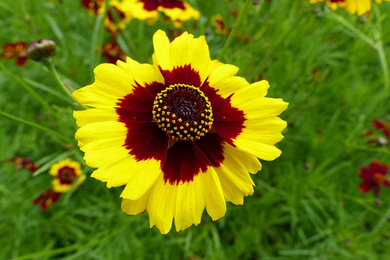 A close up horizontal image of a bicolored yellow and deep red Coreopsis tinctoria flower growing in the garden with foliage in soft focus in the background.