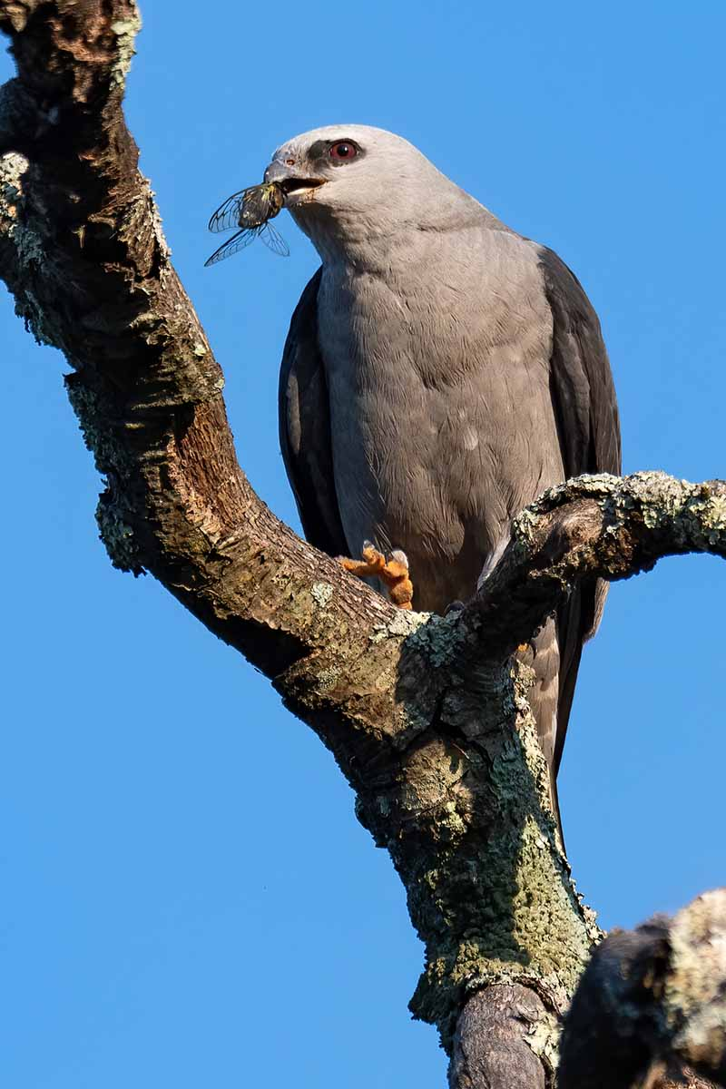 A close up vertical image of a Mississippi kite eating an insect on a blue sky background.