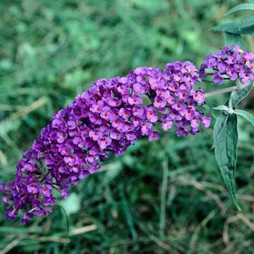 A close up square image of Buddleia 'Black Knight' with light and dark purple flowers.