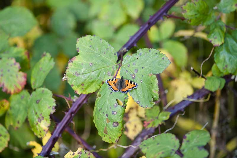 A close up horizontal image of a blackberry shrub suffering from Anthracnose with a butterfly on the foliage.
