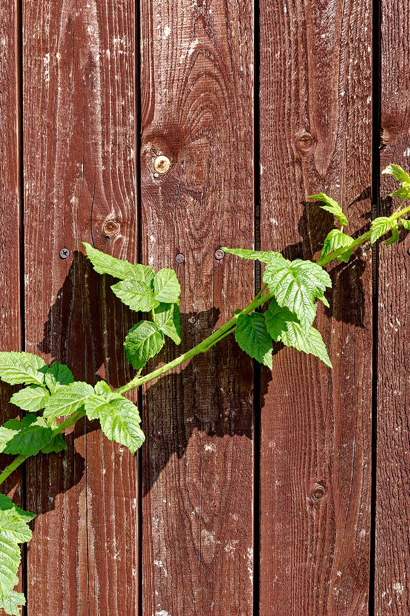 A close up vertical image of a Rubus primocane growing up a wooden wall.