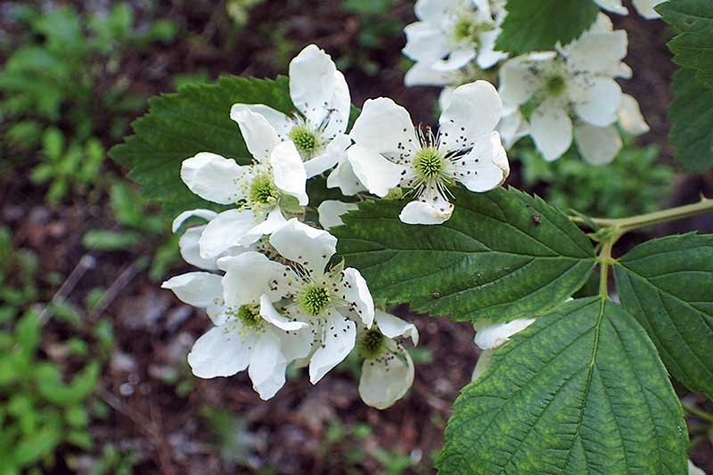 A close up horizontal image of the foliage and white flowers of Rubus allegheniensis growing wild.