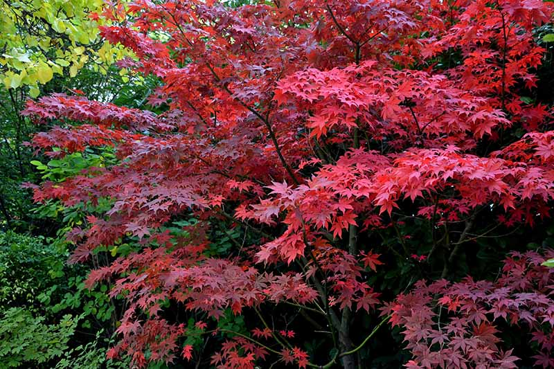 A close up horizontal image of the bright red foliage of Acer 'Bloodgood' growing in the garden.