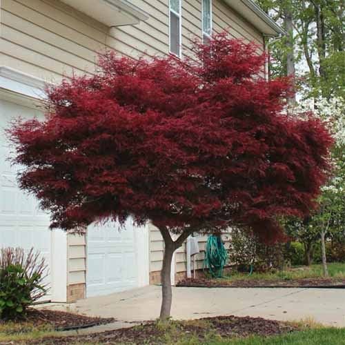 A close up square image of a Japanese maple 'Bloodgood' growing outside a residence.