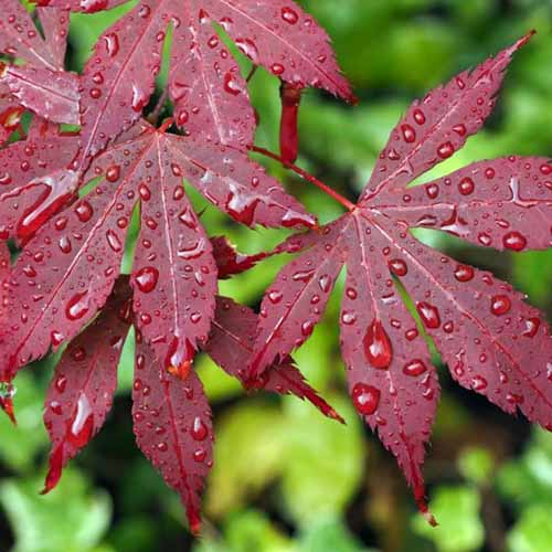 A close up square image of the deep red foliage of Acer palmatum 'Bloodgood' with drops of water on the leaves.