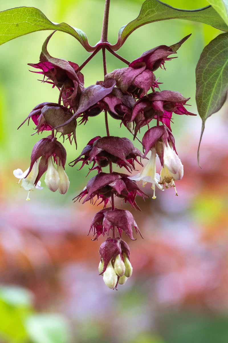 A close up vertical image of the white flowers and purple bracts of Leycesteria formosa pictured on a soft focus background.