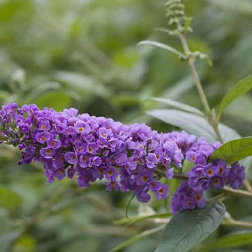 A close up square image of Buddleia 'Blue Chip' with light purple flowers pictured on a soft focus background.