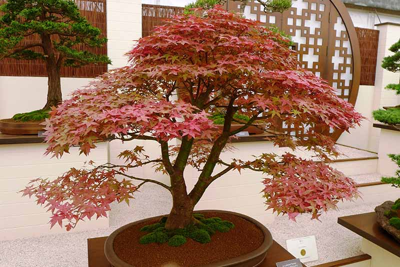 A close up horizontal image of a Japanese maple growing as a bonsai in a small pot in a formal garden.