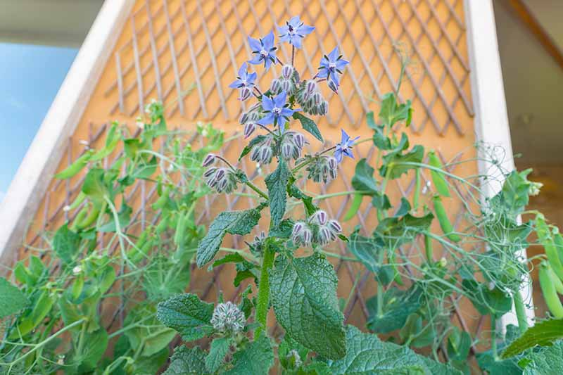 A close up horizontal image of a borage plant with a bright blue flower growing outside a residence.