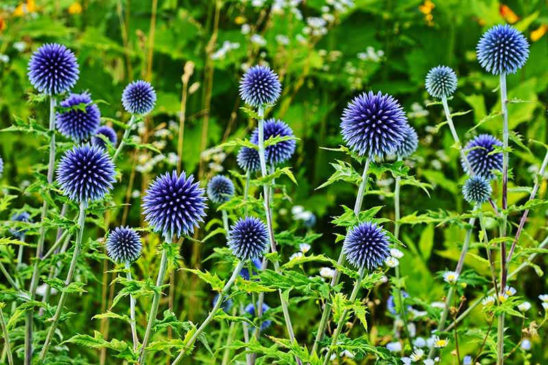 A close up horizontal image of the bright blue globe shaped flowers growing in the garden.