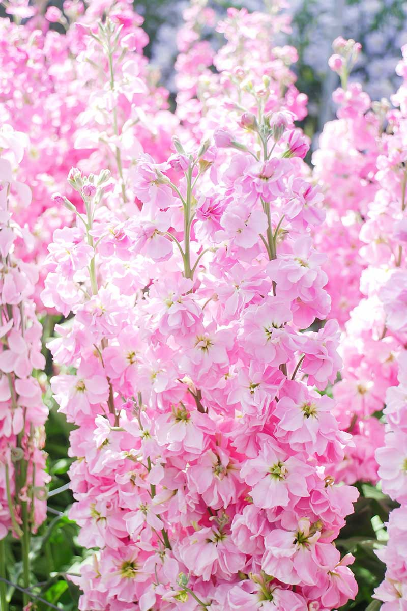 A close up vertical image of light pink Matthiola incana flowers growing in a sunny garden.