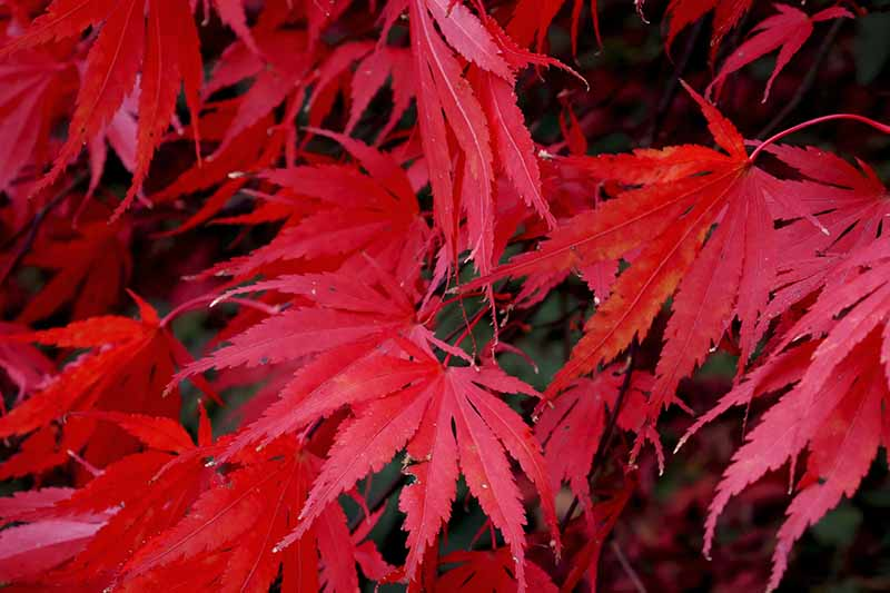 A close up horizontal image of the bright red foliage of an Atropurpureum maple tree pictured on a soft focus background.