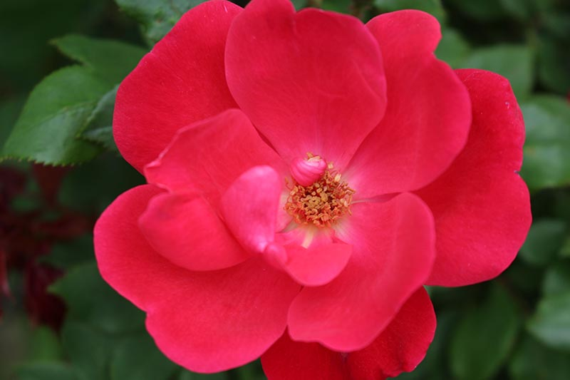 A close up horizontal image of a bright red Knock Out rose on a soft focus background.