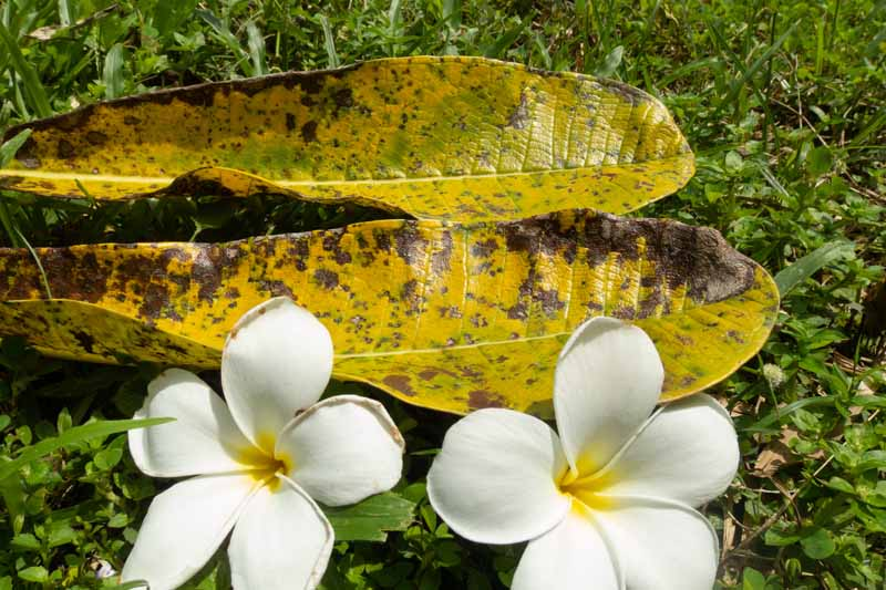 A close up horizontal image of brown withered leaves after a mealybug infestation with two frangipani flowers to the bottom of the frame.