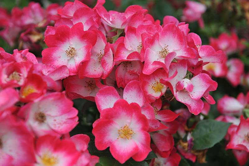 A close up horizontal image of bright pink and white 'Bukavu' roses growing in the garden pictured on a soft focus background.