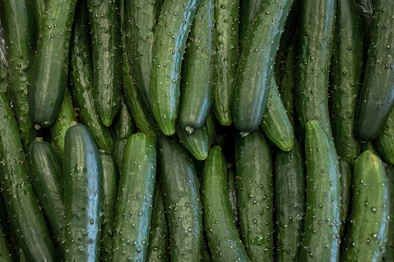 A close up horizontal image of burpless cucumbers in a pile.