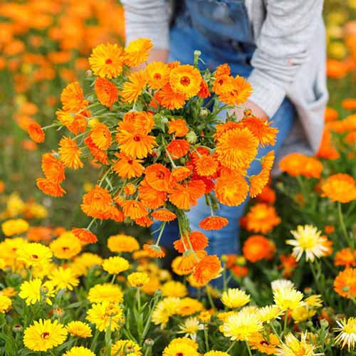 A close up square image of a gardener holding a bunch of freshly picked 'Calendula Balls' flowers in a meadow.