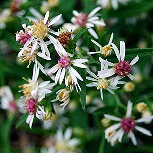A close up square image of small white calico asters growing in the garden.