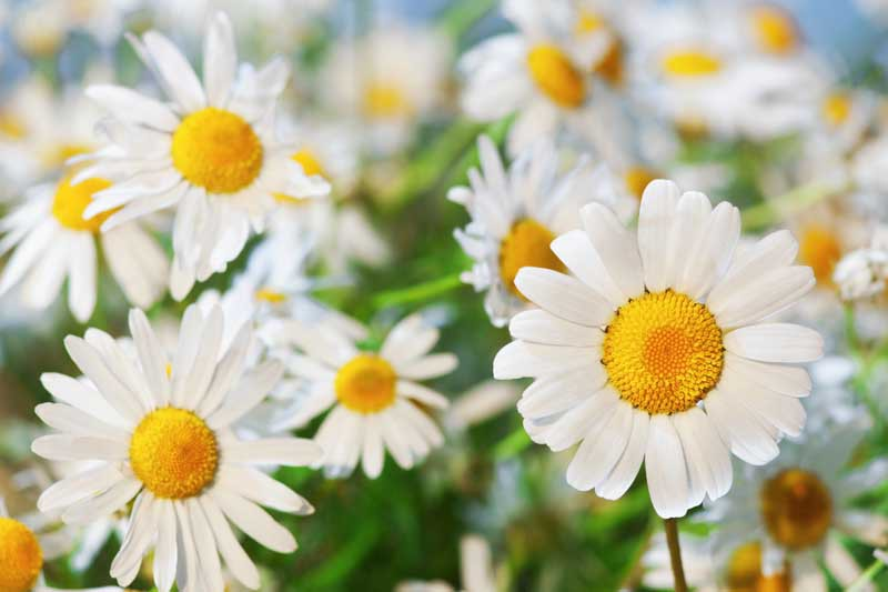 Close up of white chamomile flowers with yellow centers.