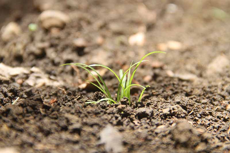 A close up horizontal image of a seedling growing in the garden.