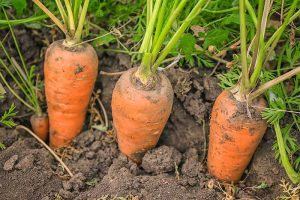 Crisp, Sweet, and Red to the Core: How to Grow Chantenay Carrots