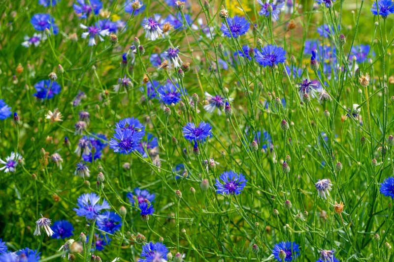 Chicory plants in a field with blue flowers.