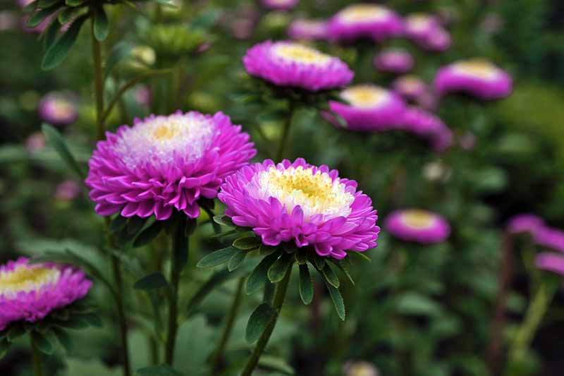 A close up horizontal image of bicolored China asters growing in the garden pictured on a soft focus background.